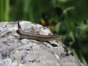Podarcis-mularis-macho(Lagartija-roquera)web