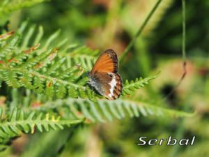 Coenonympha-arcania1web