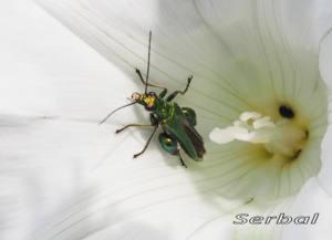 Oedemera-nobilis-macho-(2)WEB