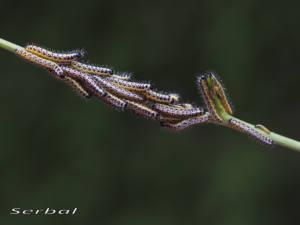 Pieris-brassicae-oruga-web