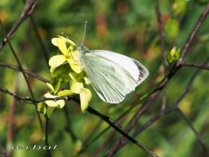 Pieris-brassicae-web