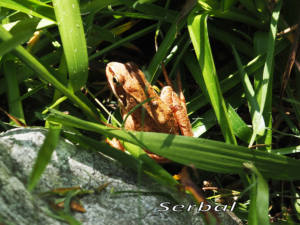 Rana-temporaria-(rana-Bermeja)web