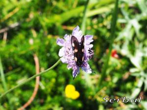 Zigaena-trifolii-web