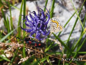 Zygaena-trifolii-y Polyommatus icarus-web