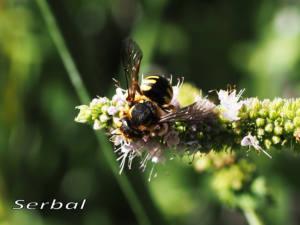 Anthidium-florentinum3-web