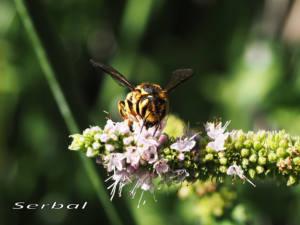 Anthidium-florentinum4web