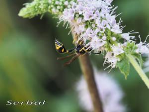 Eumenes-papillarius-web