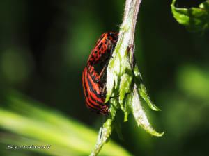 Graphosoma-italicum-web