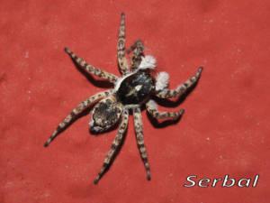 Monemerus semilimbatus