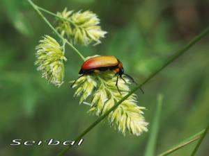 Proctenius-chamaeleon2-web