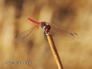 Sympetrum-fonscolombei-macho-web