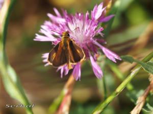 thymelicus-acteon-web