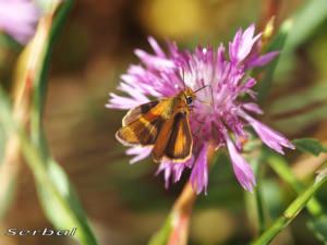 thymelicus-acteon2-web