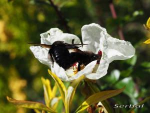 Xylocopa-violacea-web