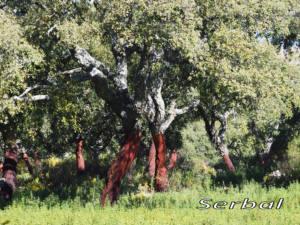 Alcornoque-bosque-web