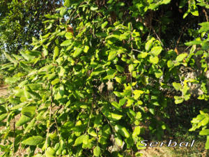 Alcornoque-hojas-web