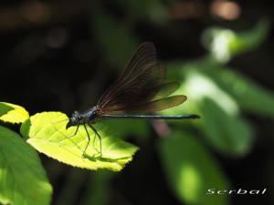 calopteryx-virgo-macho-inmaduro-web