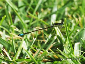 Ischnura-graellsii1-web