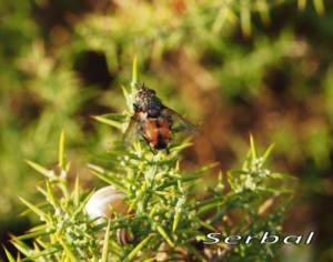 Peleteria-rubescens-web