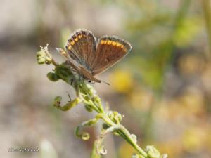 polyommatus-icarus-icarohembra-ju16-web