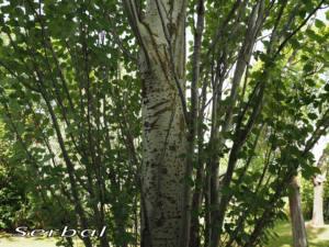 Populus-alba-web