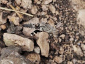 Oedipoda-caerulescens1-web