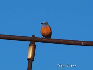 Roquero-rojo-marzo-2016-web
