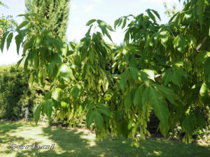Arce-negundo-hojas-web