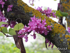 Ciclamor-flores-web