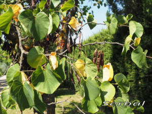 Ciclamor-hojas-web