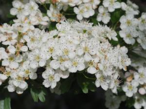 Crataegus-monogyna-flor-web