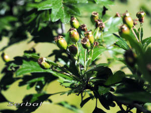 Crataegus-monogyna-fruto-verde-web