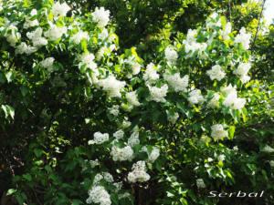 Syringa-vulgaris-web