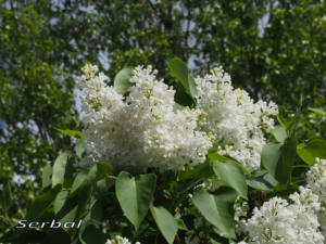 Syringa-vulgaris2-web