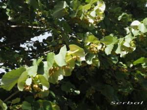 Tilo-plareado-hojas-web