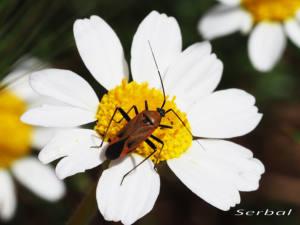 calocoris-nemoralis-web