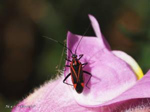 calocoris-nemoralis1-web