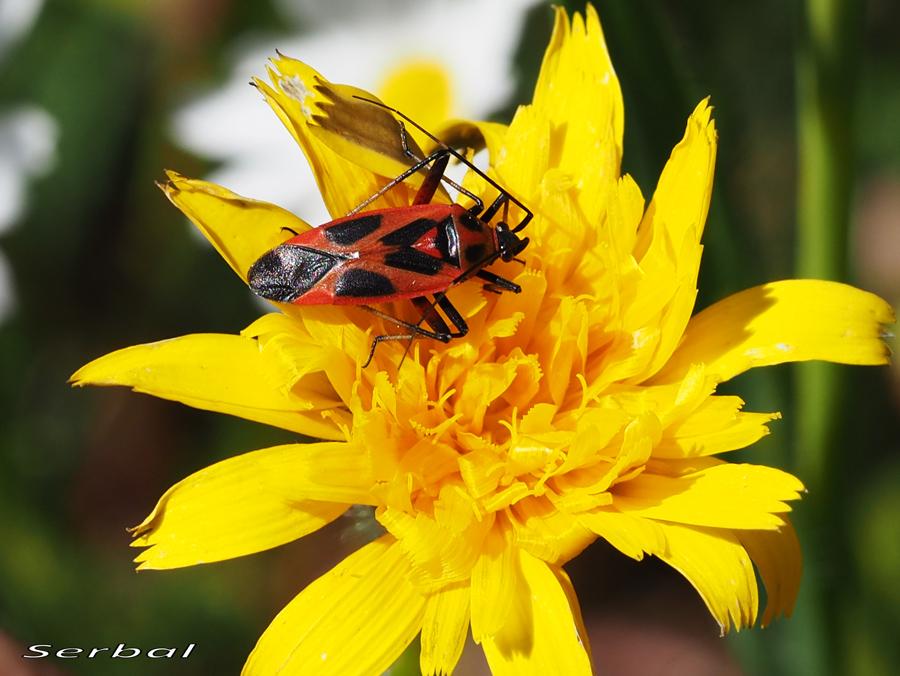 Calocoris-nemoralis2-web