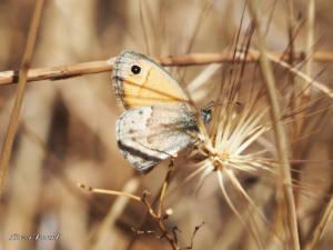 coenonympha-pamphilus-ju16-web