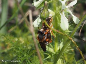 rhodanthidium-sticticum-may16-web
