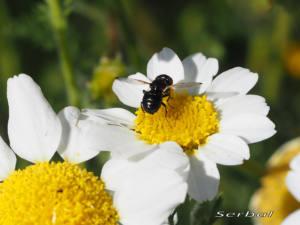 Ulidia-apicalis2-web