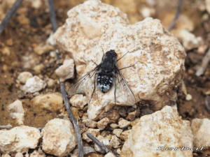 Anthrax-binotatus1-web