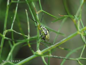 Brachycoleus-sexvittatus2-web