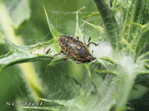 Larinus-turbinatus1-web