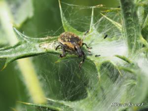 Larinus-turbinatus2-web