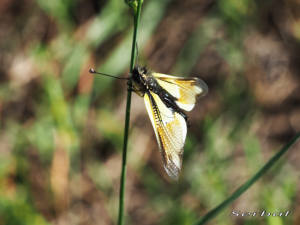 Libelloides-baeticus1-web
