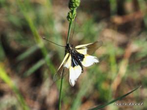 Libelloides-baeticus2-web