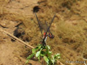 Pyrrhosoma-nymphula3-web