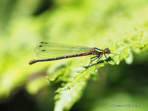Pyrrhosoma-nymphula4-web