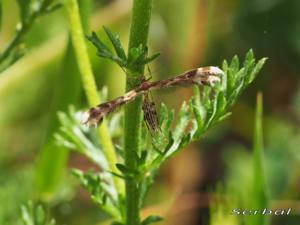 Cnaemidophorus-sp.-web